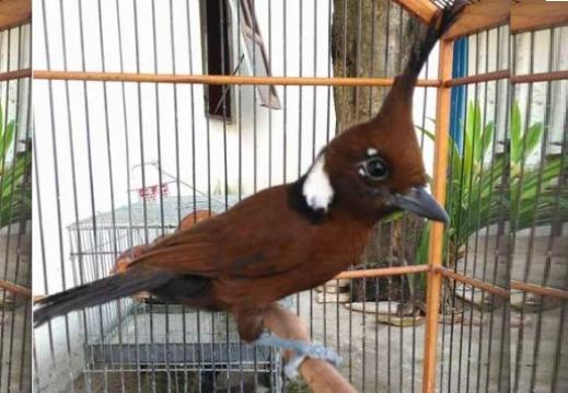 Download Suara Burung Cililin Ngerol Panjang