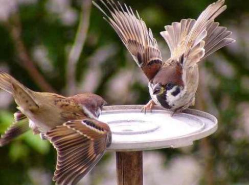 Download Suara Burung Gereja Tarung Mp3