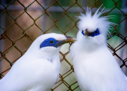 Download Suara Burung Jalak Bali Durasi Panjang