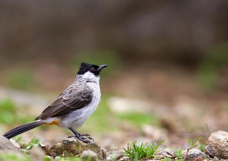 Download Suara Burung Kutilang Gacor Mp3
