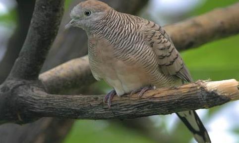 Download Suara Burung Perkutut Lokal