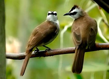 Download Suara Burung Trucukan Liar