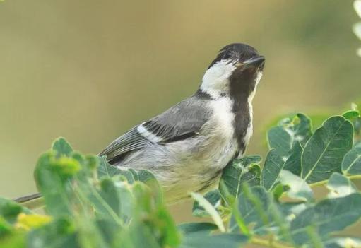 Download Suara Burung Gelatik Batu Gacor Full Isian