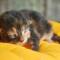Cara Merawat Anak Kucing Persia Umur 1 Bulan
