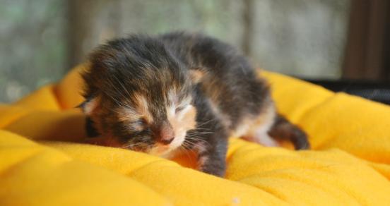 Cara Merawat Anak Kucing Persia Umur 1 3 Bulan