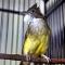 Download Suara Burung Cucak Jenggot Asli dan Masteran