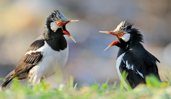 Download Suara Burung Jalak Suren Durasi Panjang