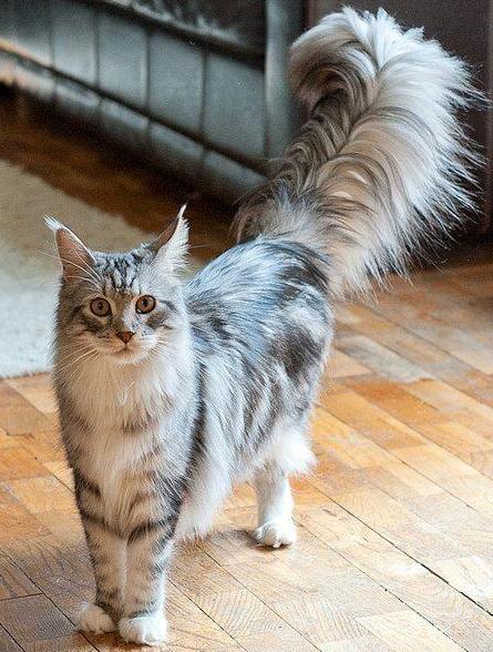 Jenis Kucing Maine Coon