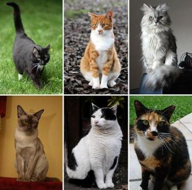 Jenis Kucing Terpopuler di Indonesia