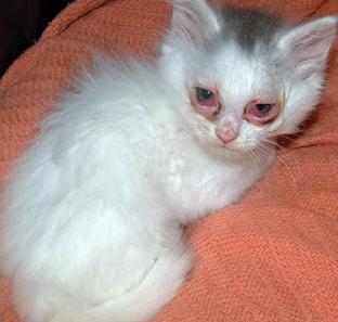 Cara Mengobati Kucing Sakit Mata Tanpa ke dokter