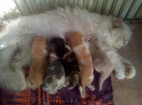 Cara Merawat Kucing Baru Melahirkan