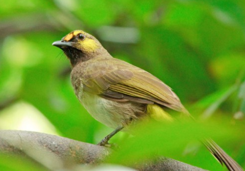Download Suara Burung Cucak Wilis Gacor Mp3