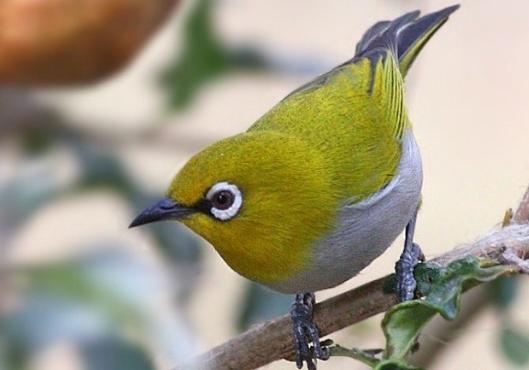 Download Suara Burung Pleci Ngerol Panjang