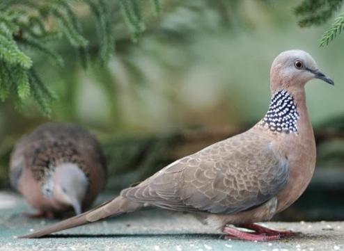 Download Suara Burung Tekukur Pemikat