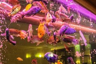 Ikan Hias Agak Galak