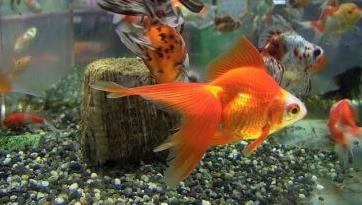 Ikan Hias Bersifat Damai