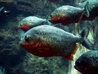 Ikan Hias Galak (Predator air tawar)