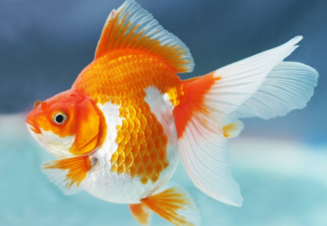 Ikan Mas Koki