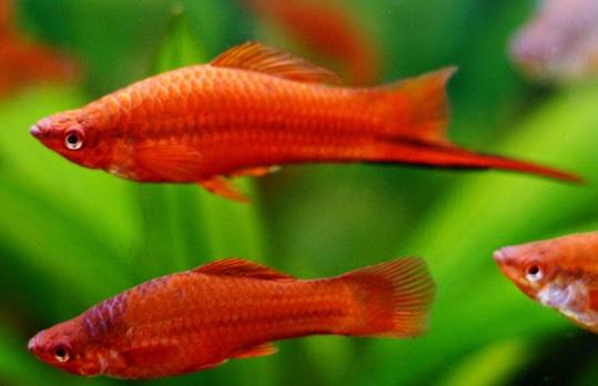 Ikan Swordtail
