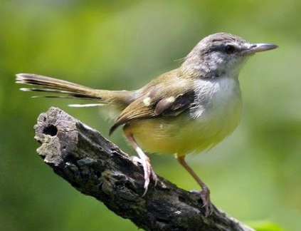 Download Suara Burung Ciblek Betina Pemikat