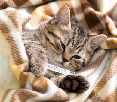 Cara Mengobati Kucing Demam Paling Ampuh