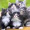 Daftar Harga Kucing Anggora Terbaru