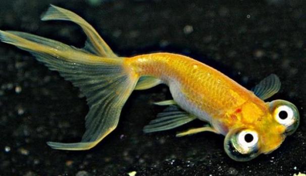 Ikan Mas Koki Choten Gen