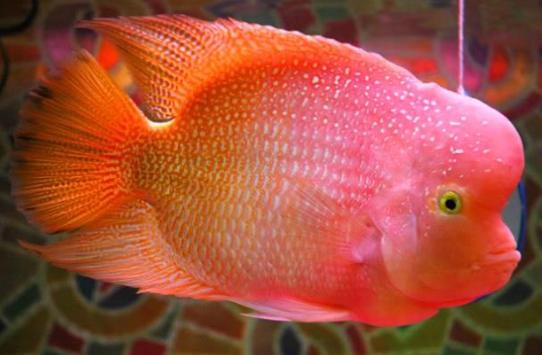 Jenis Ikan Louhan Golden Base