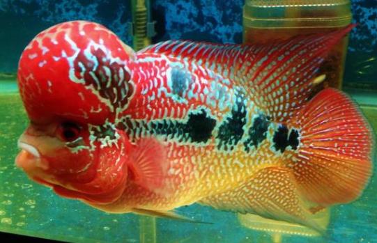 Jenis Ikan Louhan SRD