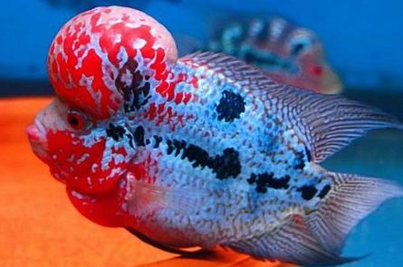 Jenis Ikan Louhan Strom
