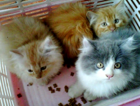 Jenis-jenis Kucing Persia dan gambarnya