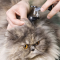 Penyebab dan Cara Mengatasi Penyakit Telinga pada kucing