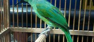 Suara Burung Cucak Ijo Banyuwangi