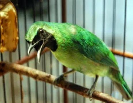 Download Suara Burung Cucak Ijo Ngerol