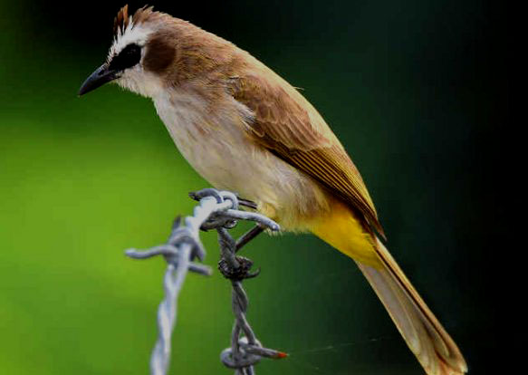 Download Suara Burung Trucukan Gacor Mp3
