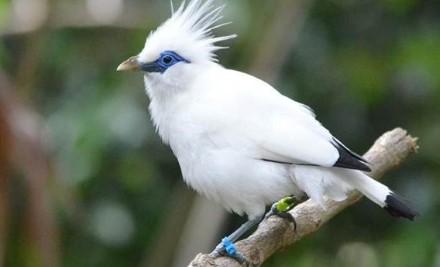 Download Suara Burung Jalak Bali