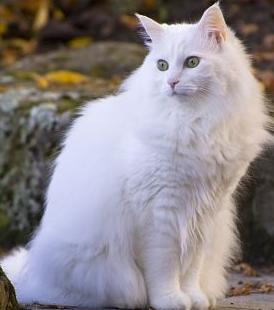 Ciri ciri Kucing Anggora Ras ASLI
