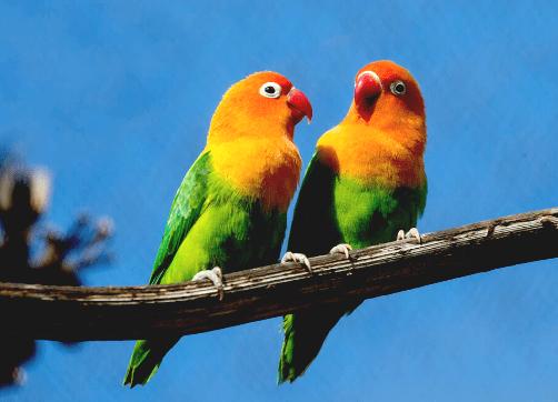 Download Suara Burung Lovebird Ngekek