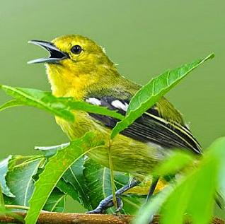 Download Suara Burung Sirtu Pikat