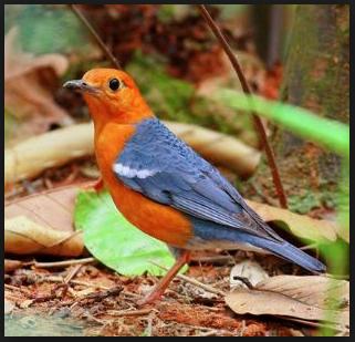 Download Suara Burung Anis Merah Gacor