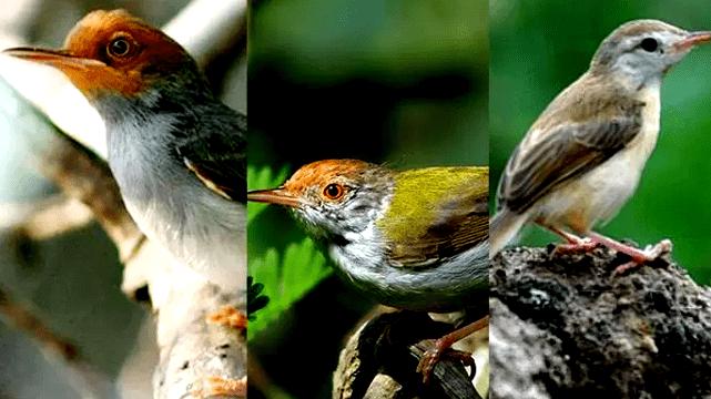 Download Suara Burung Prenjak Gacor Mp3
