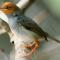 Download Suara Burung Prenjak Kepala Merah Mp3