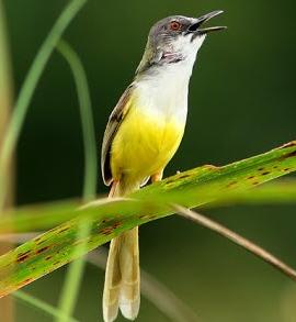 Burung Prenjak Meong atau Prenjak Tebu
