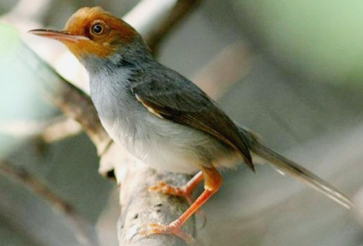 Burung Prenjak Kepala Merah