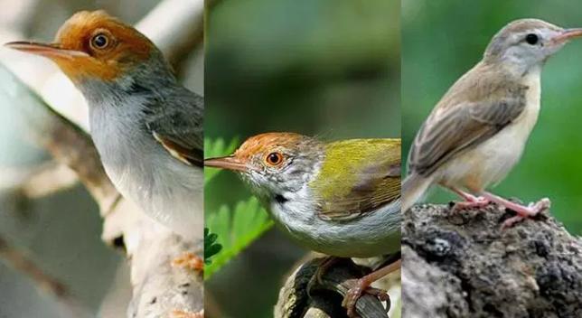 Jenis Burung Prenjak yang Bagus Dipelihara