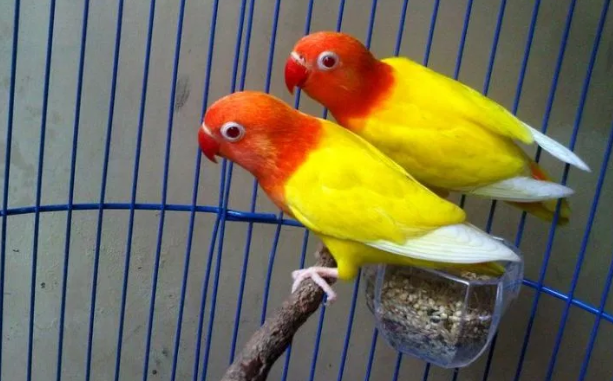 Burung Lovebird Lutino
