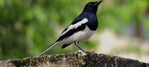 Download Suara Burung Kacer Mp3
