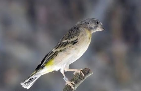 Download Suara Burung Blackthroat Nembak
