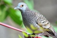Download Suara Burung Perkutut Pikat Ampuh