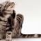 Cara Menghilangkan Kutu pada Kucing